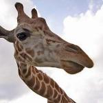 zwierzaki-zyrafa
